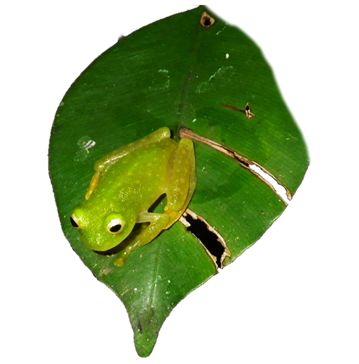 frog-belize-conservation